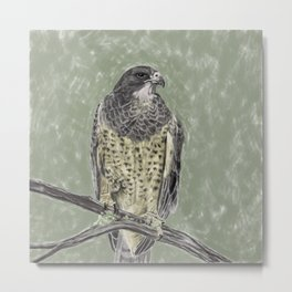 Black-chested buzzard-eagle (Geranoaetus melanoleucus) Metal Print