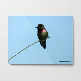 Male Anna's Hummingbird Metal Print