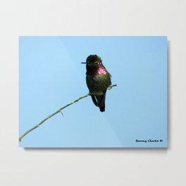 Male Anna's Hummingbird Metal Print