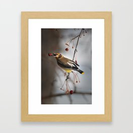Cedar Waxwing on Branch Framed Art Print