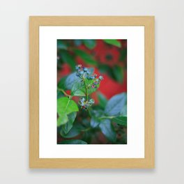 Pre-ripe Blueberries Framed Art Print