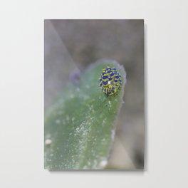 Stiliger ornatus Metal Print