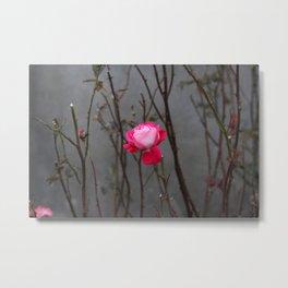 Bi-color rose Metal Print