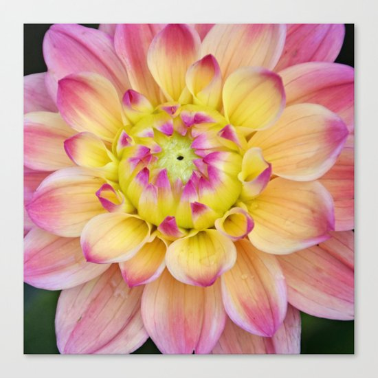 Pink Yellow Dahlia Close up Canvas Print