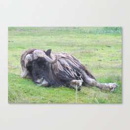 Musk Ox Lazy Day Canvas Print