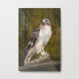 Red Tailed Hawk perched on a branch in the woodlands Metal Print