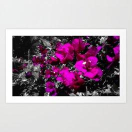 Hot pink bougainvillea photograph over monochrome background Art Print