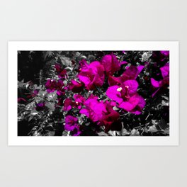 Hot pink bougainvillea photograph over monochrome background Art Print
