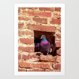 Concept nature : Dove nest in the city wall Art Print