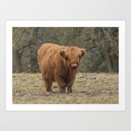 Scottish Highland young cow Art Print