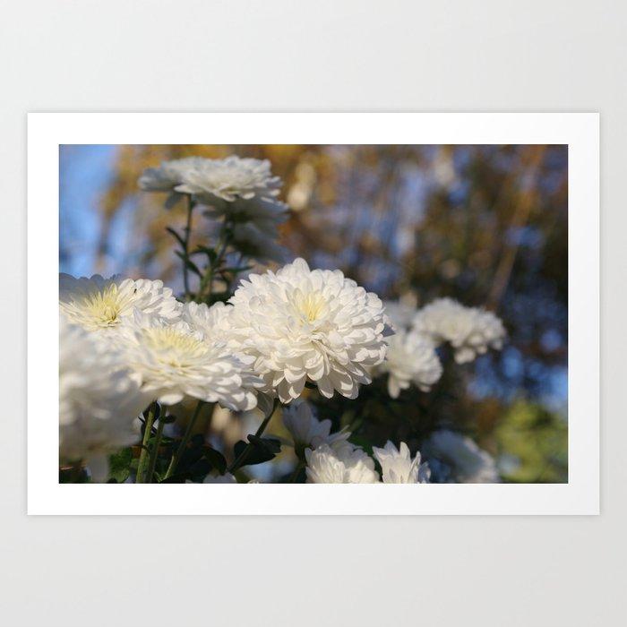 Fluffy flurries of white chrysanthemum flowers art print by fluffy flurries of white chrysanthemum flowers art print mightylinksfo