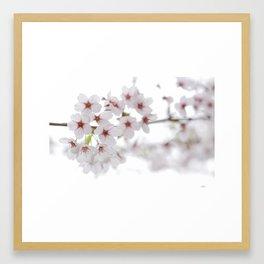 Cherry Blossoms #01 Framed Art Print