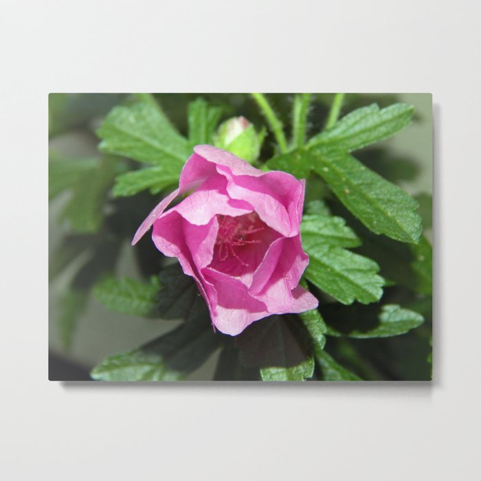 Musk Mallow - Pretty Pink Flower Metal Print