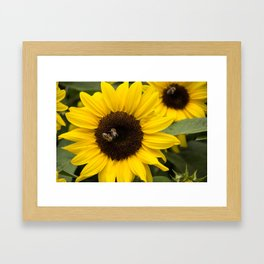 Sunflower with bees Framed Art Print