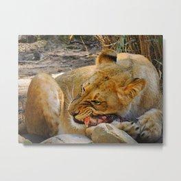 Lion dinner Metal Print