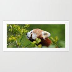 Red Panda 1 Art Print