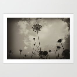 "Queen Anne's Lace ""black and white"" Art Print"