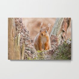 Squirrel in log Metal Print