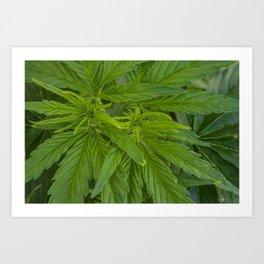 Cannabis Leaves Art Print