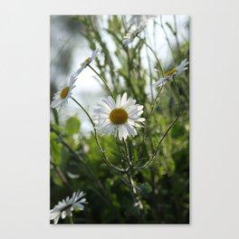 Irish daisy Canvas Print