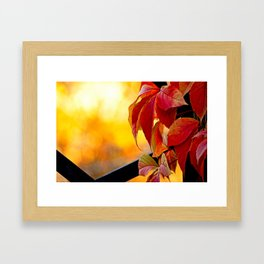 Autumn red vine leaves and yellow background Framed Art Print