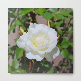 Best of Show, White Rose Metal Print
