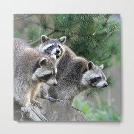 Raccoon_001_by_JAMFoto Metal Print