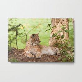 Lynx Lynx Metal Print
