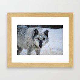 Lone wolf roams the Canadian Rockies Framed Art Print