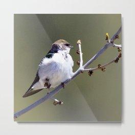 Watercolor Bird, Violet Green Swallow 01, Estes Park, Colorado Metal Print