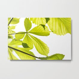 Aesculus horse chestnut foliage Metal Print