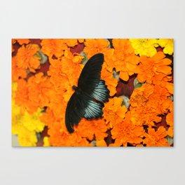 Butterflies love Marigolds Canvas Print
