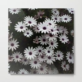 White African Daisies In A Flower Bed Metal Print