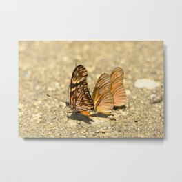 butterfly (Dione juno and Dryas julia) Metal Print