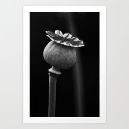 Poppy Head Art Print