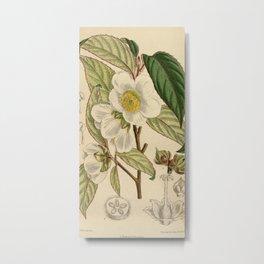 Stewartia sinensis, Theaceae Metal Print