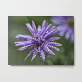Aster with water drops Metal Print