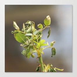 A little wilted Canvas Print