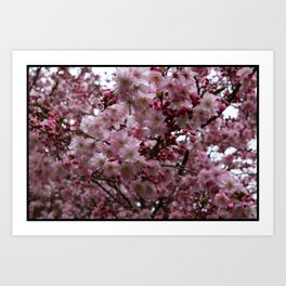 Blossoms in Bloomfield Art Print