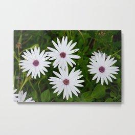 Beautiful White Daisies Metal Print