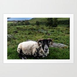 Scottish Highland Sheep Art Print