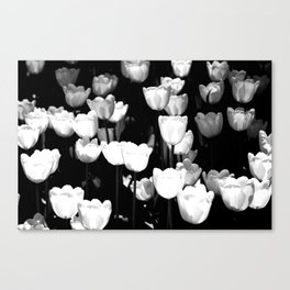 Sunlit White Tulips Canvas Print