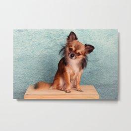Chihuahua Metal Print