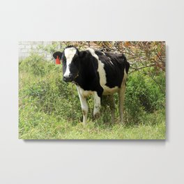 Holstein Cow in a Pasture Metal Print
