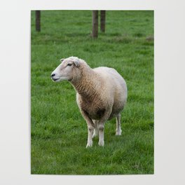 Wary North Island Sheep, in profile Poster