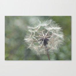 Tragopogon -Meadow Salsify 43 Canvas Print