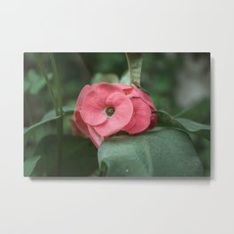 Corona de Cristo - Flower Photography Metal Print