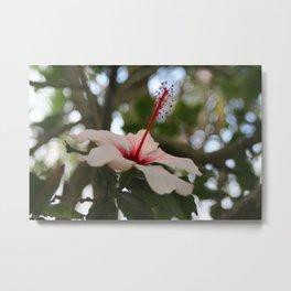 Hibiscus flower on its tree Metal Print
