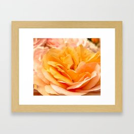 orange rose 1 Framed Art Print