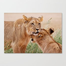 Two young lions - Africa wildlife Canvas Print